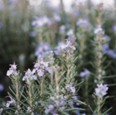 Rosemary / Conditioning and preventing rough skin